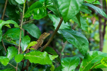 Lizard in forest.