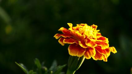 Yellow Calendula  Blooms