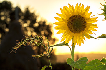 Photos Illustrations Et Videos De Fleur De Tournesol