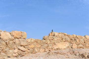 Крепость Масада. Голубь на стене