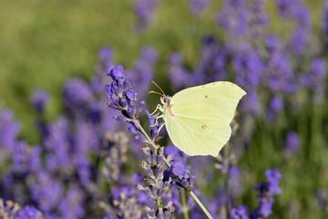 Papillon butinant une fleur de lavande