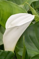 White calla flower with green leafs