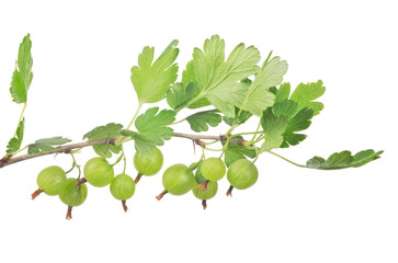 green gooseberry isolated branch