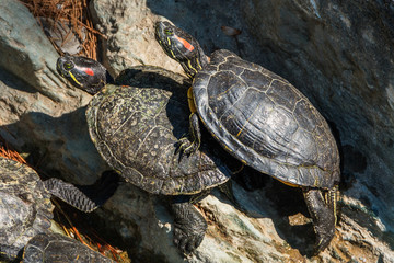 Two red-eared terrapins sunbathing at a zoo