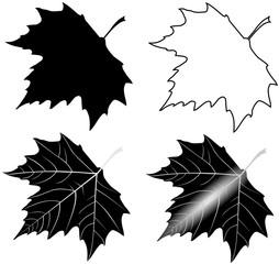 sycamore,(Platanus acerifolia )