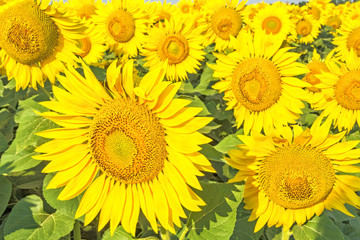 Yellow flowers of sunflowers on a background of green leaves
