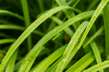 Grass with the Water Drops