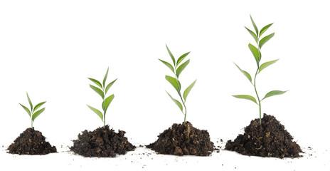 Four saplings on white background