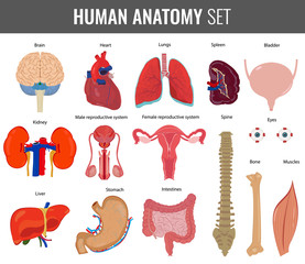 Human internal organs. Anatomy set. Vector