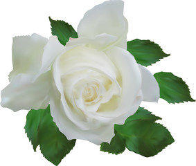 Fotobehang Roses isolated white rose with small green leaves
