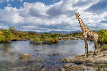 South africa river giraffe