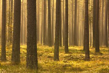 Morning Forest./ Kashubia, Poland