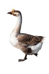 walking goose on white