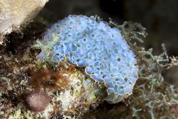 Unterwasser - Riff - Nacktschnecke - Salatschnecke - Tauchen - Curacao - Karibik