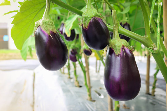 Eggplant growing in field plant ready for harvest.
