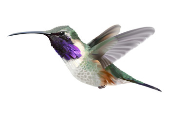Flying Lucifer Hummingbird - Calothorax lucifer. Hand drawn vector illustration of a hovering male Lucifer hummingbird with iridescent magenta-purple throat patch on transparent background.