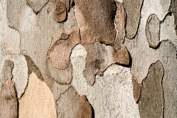 Plane tree bark close up background