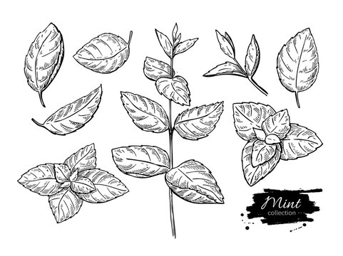 Mint vector drawing set. Isolated mint plant and leaves. Herbal