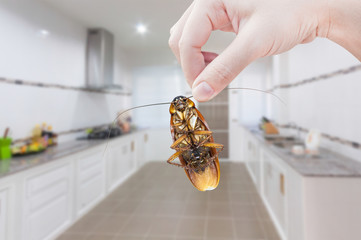 Woman's Hand holding cockroach on kitchen background, eliminate cockroach in kitchen