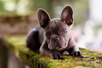 Foto auf Acrylglas Französisch bulldog Französische Bulldogge