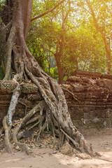 tree roots cover a historic Khmer temple in  Angkor Wat, Cambodi