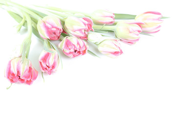 Pale pink tulips isolated on white background