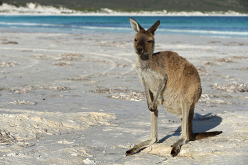 Kangaroo on the beach