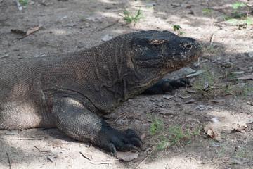 Komodo Dragon - The big one