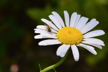 Wild daisy alone in northern Michigan