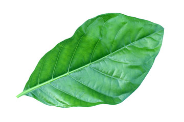 great morinda leaf isolated on white background , Indian mulberry, noni, beach mulberry, cheese fruit