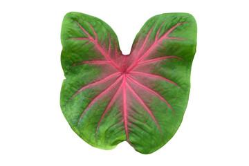 Caladium leaf isolated on white background.Caladium bicolor vent.