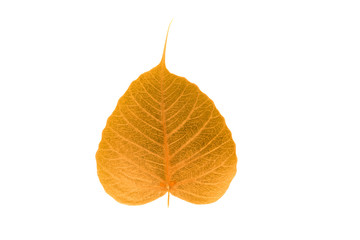 Abstract of pho leaf ( Bodhi Tree) isolate on white background w