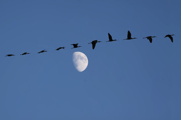 A flock of Glossy ibis in the evening sky