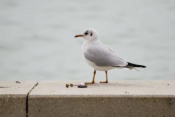 Common gull or Larus canus