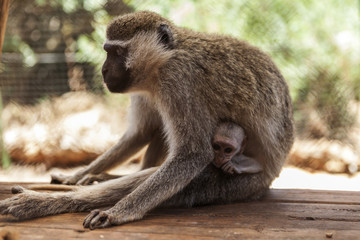 The Monkey Mother