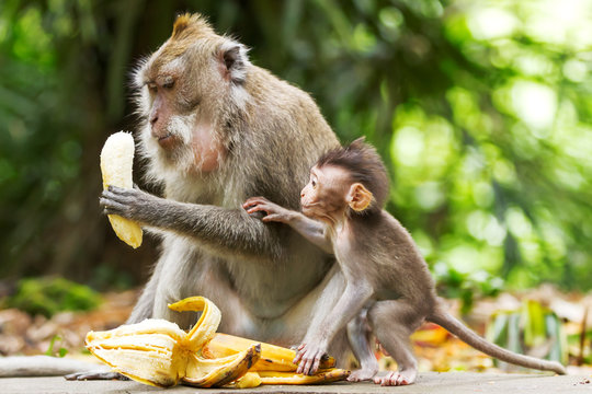 Monkeys eat bananas.  Monkey forest in Ubud, Bali, Indonesia.