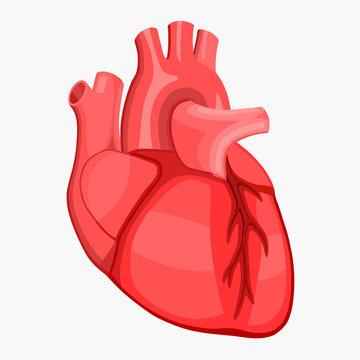 Red human heart anatomy