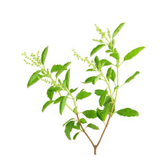 Basil flower, stalk and leaves on a white background.