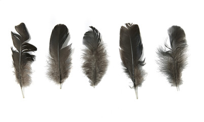 Assorted small black bird feathers isolated on a white background
