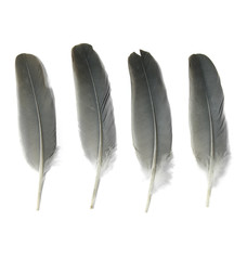 Assorted grey bird feathers isolated on a white background