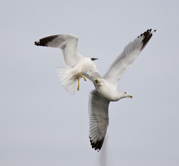 Isolated photo of two fighting gulls