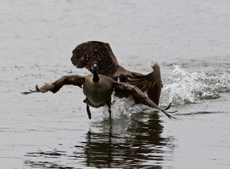 Expressive isolated photo with the Canada goose chasing his rival