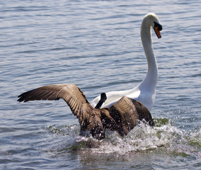 Amazing picture with the Canada goose attacking the swan on the lake