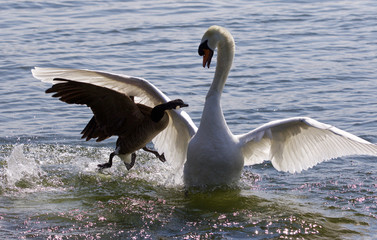 Fantastic amazing photo of the Canada goose attacking the swan on the lake