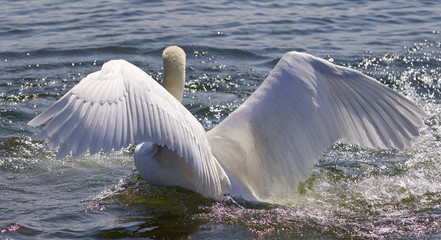 Beautiful isolated image of the swan showing his powerful wings