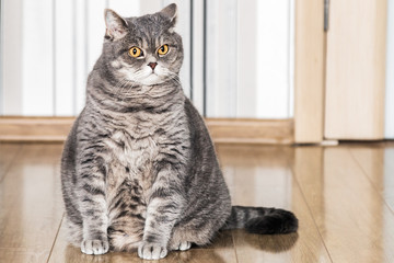 British cat sitting on the floor and looking carefully