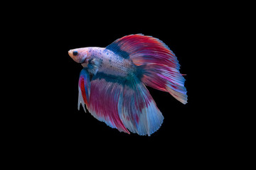 Siamese fighting fish isolated