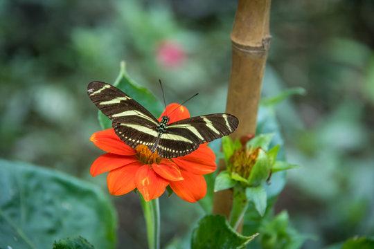 Zebra longwing butterfly on a orange flower