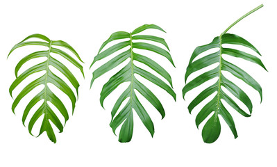 Green leaves of Monstera plant, the tropical evergreen vine isol