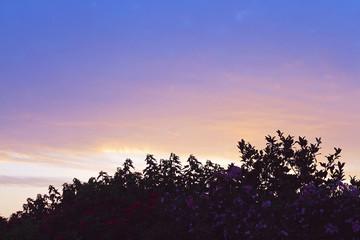 colorful sunset over dark flower bush
